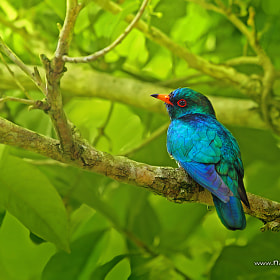 Asian Emerald Cuckoo by Sasi - smit (OF-PSD)) on 500px.com