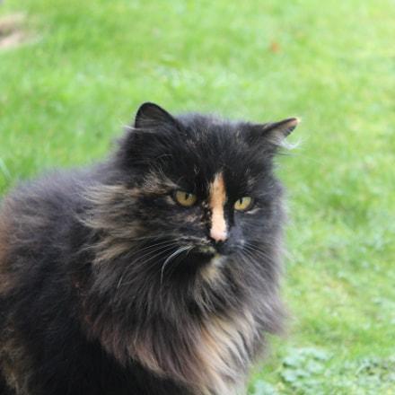 persian cat.