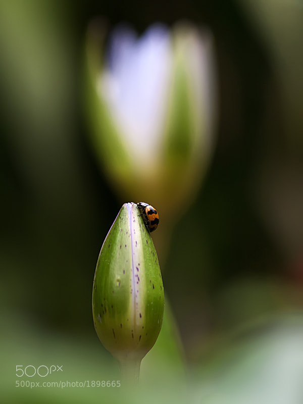 Photograph Rest on the bud by Alit Susanta on 500px