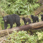 Постер, плакат: Mama Black Bear and Three Cubs