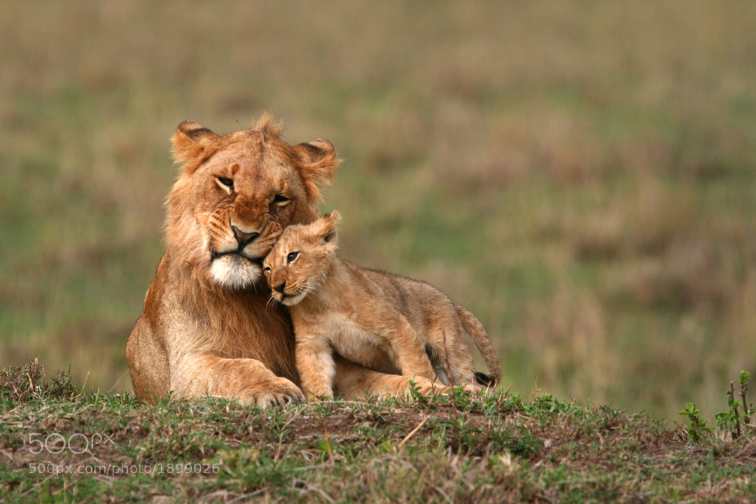 Young Lions by Nick Constantinou