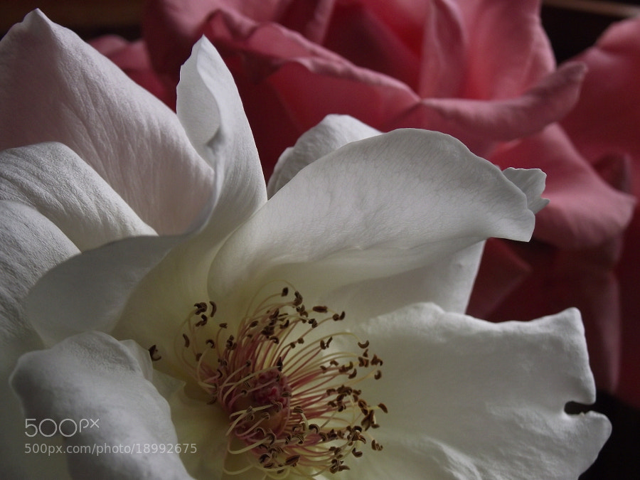 Rosa blanca by syfdev on 500px.com