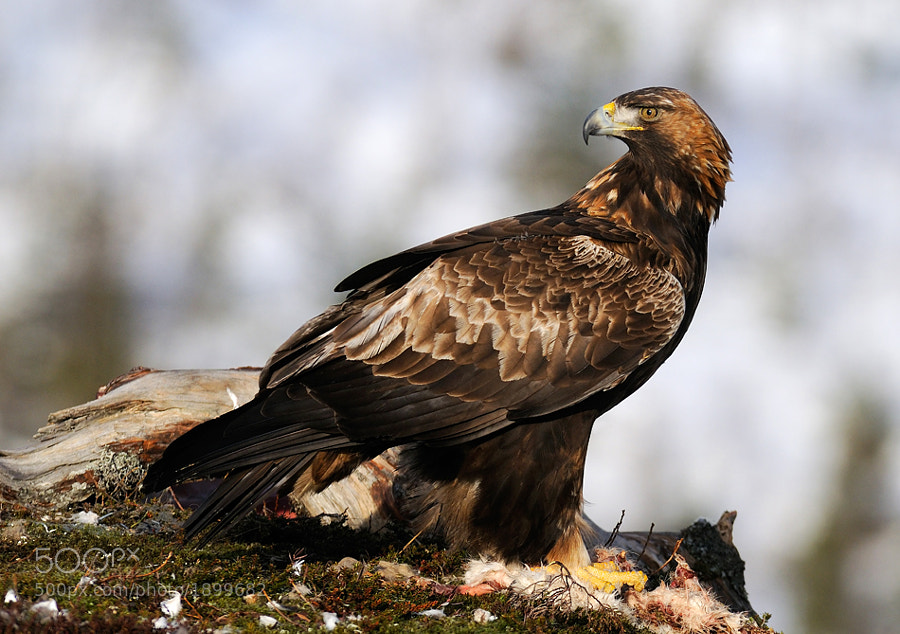 Golden Eagle on the remains of an Arctic Hare. Shot taken from a wooden hide in the mountains of Flatanger, Norway.  Best regards, Harry