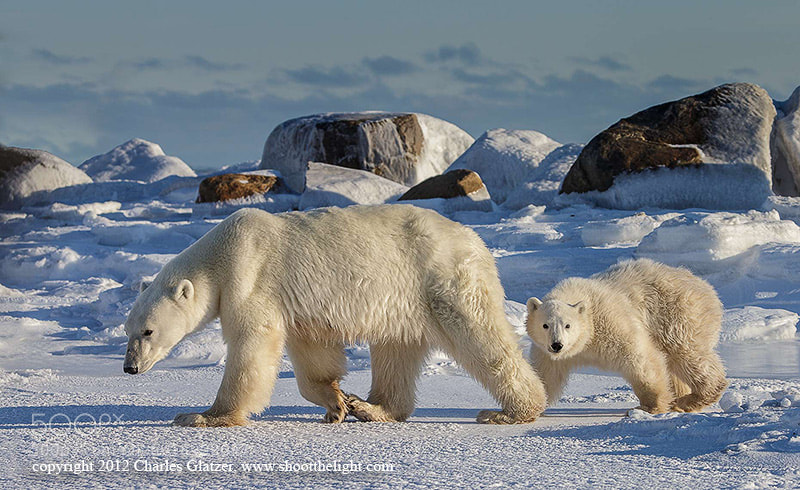 Photograph Polar bear and cub  by Charles Glatzer on 500px