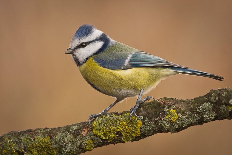 Photograph blue tit by Felix de Vega on 500px