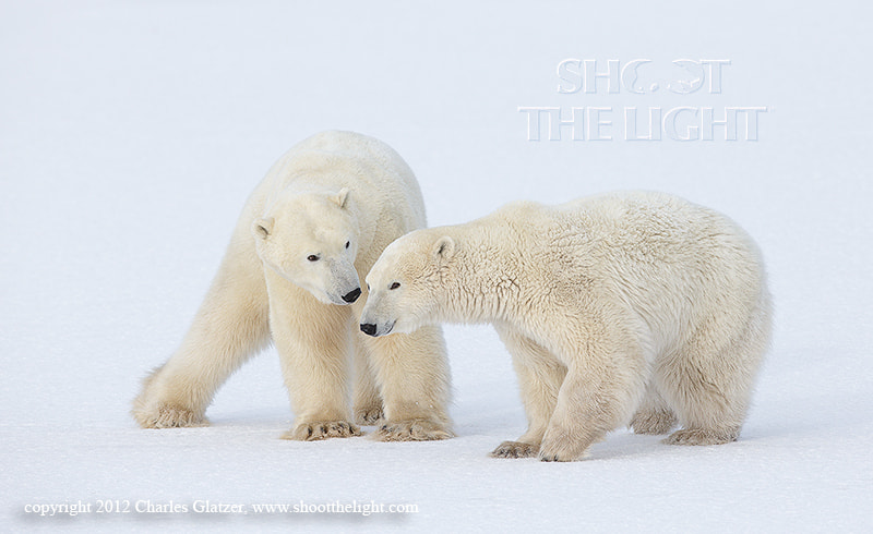 Photograph Polar play by Charles Glatzer on 500px