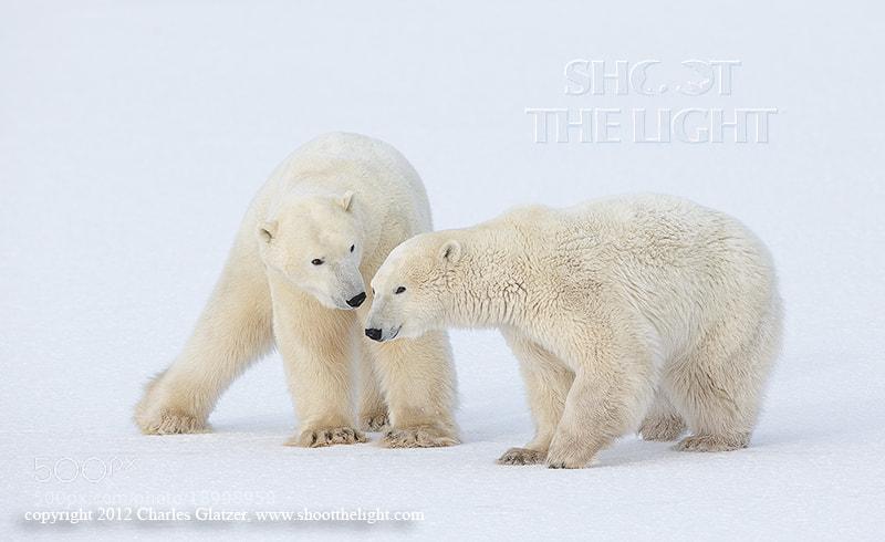 Photograph Polar play by Charles Glatzer on 500px