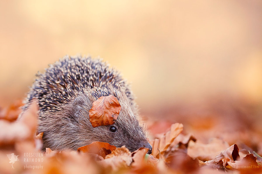 The Happy Hedgehog by Roeselien Raimond on 500px.com