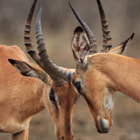 Two male impala engaging in sparring.  These two weren't at war, but were engaging in play-battle.  Were a dominant male to encounter an invading male, there'd be a much more intense battle for dominance.