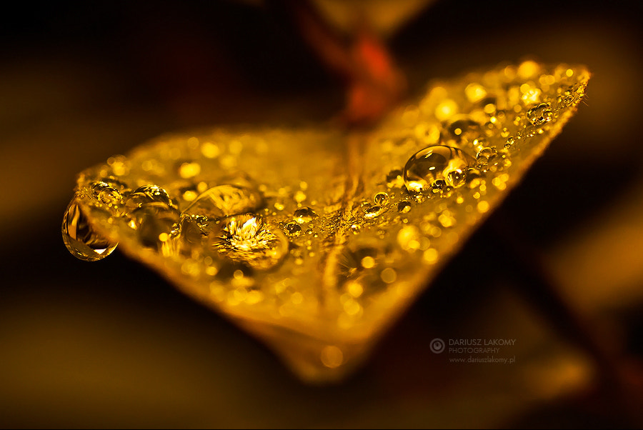 Photograph Real gold by Dariusz Łakomy on 500px