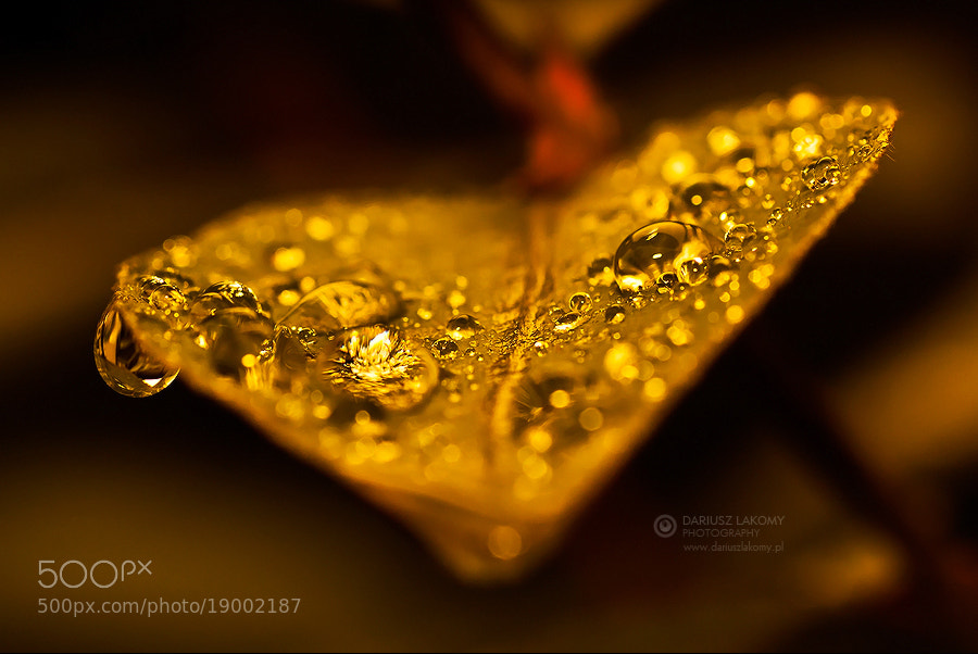 Photograph Real gold by Dariusz Lakomy on 500px