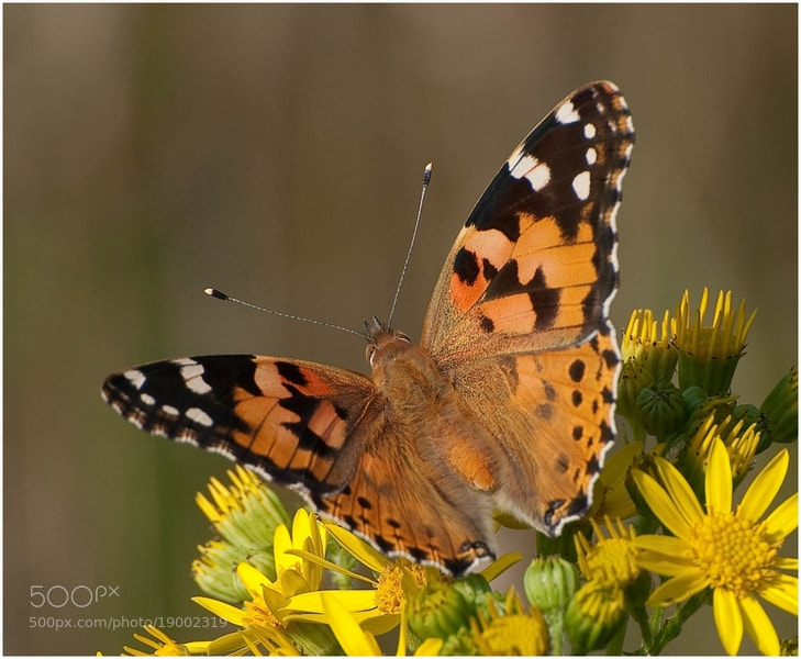 Photograph Vanessa cardui by Cor Pijpers on 500px