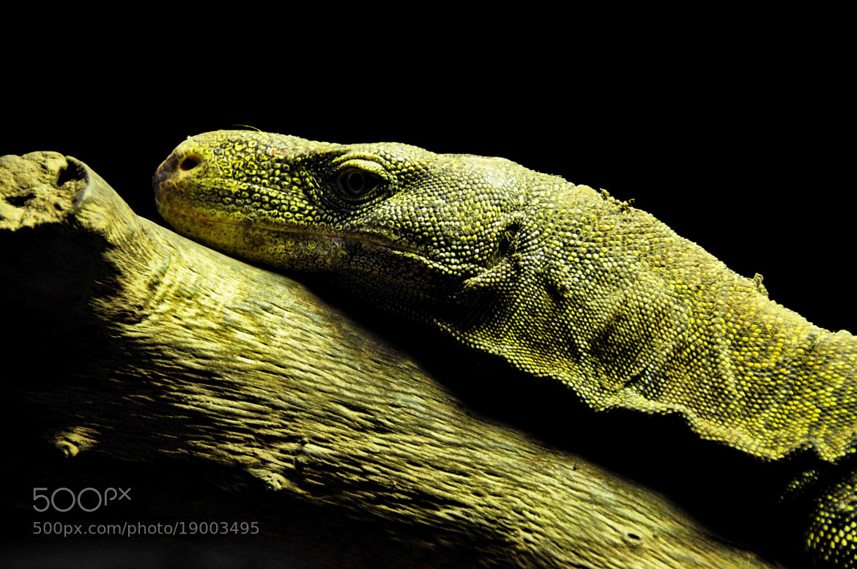 Photograph Reptil by Fotonesto Nikonesto on 500px