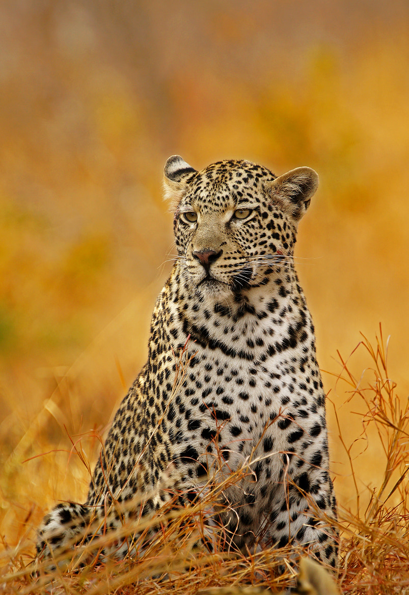 Photograph Leopard in Fire by Rudi Hulshof on 500px