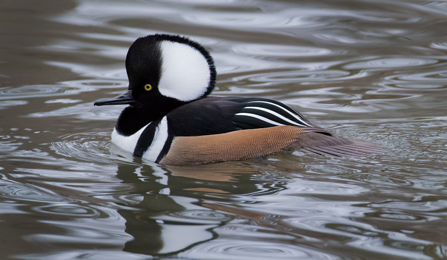 Hooded Merganser by Clifford Pugliese on 500px.com