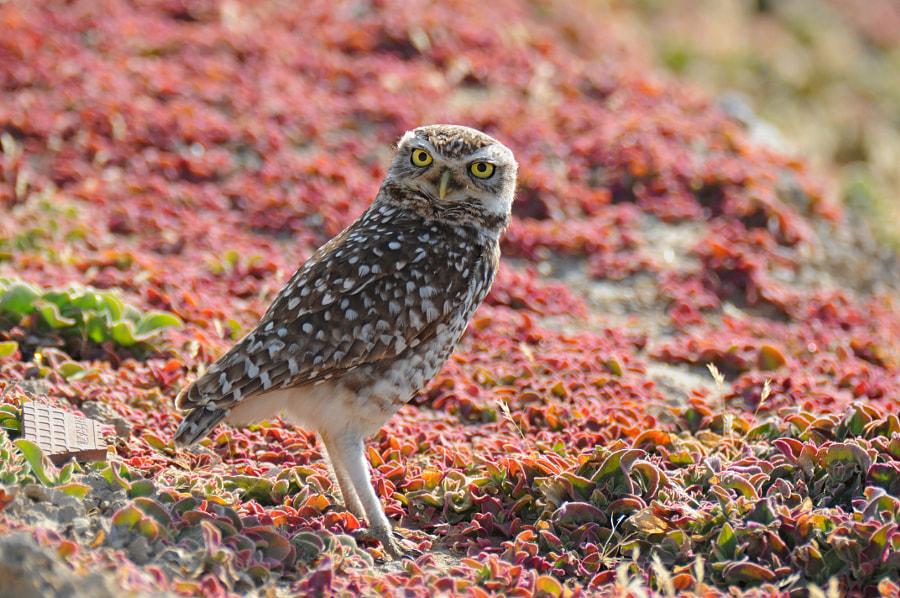Burrowing owl by Raymond Gloden on 500px.com