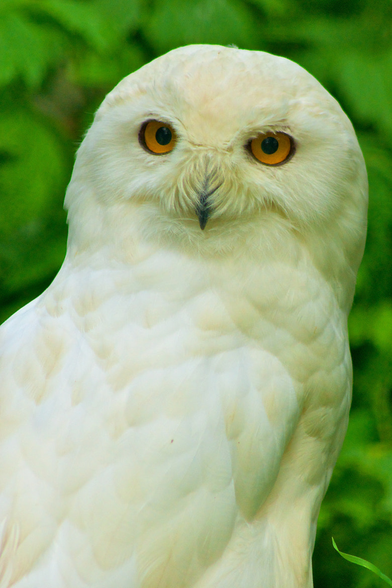 Photograph Snow Owl by Dominik Gehl on 500px