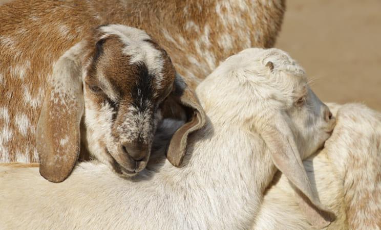 Goats hugging