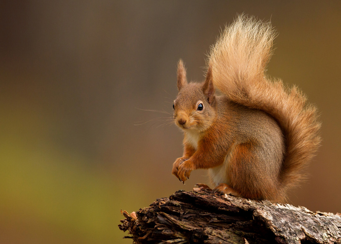 Photograph Red squirrel by Dalia Kvedaraite on 500px