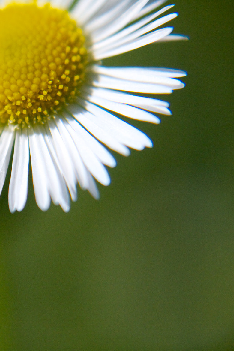 Photograph Wild daisy by Darko Kontin on 500px