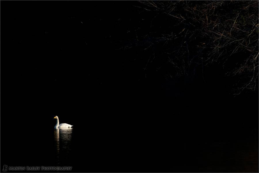Photograph Lone Swan by Martin Bailey on 500px