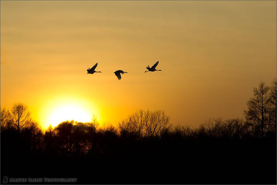 Photograph Sunset Flight of the Cranes by Martin Bailey on 500px