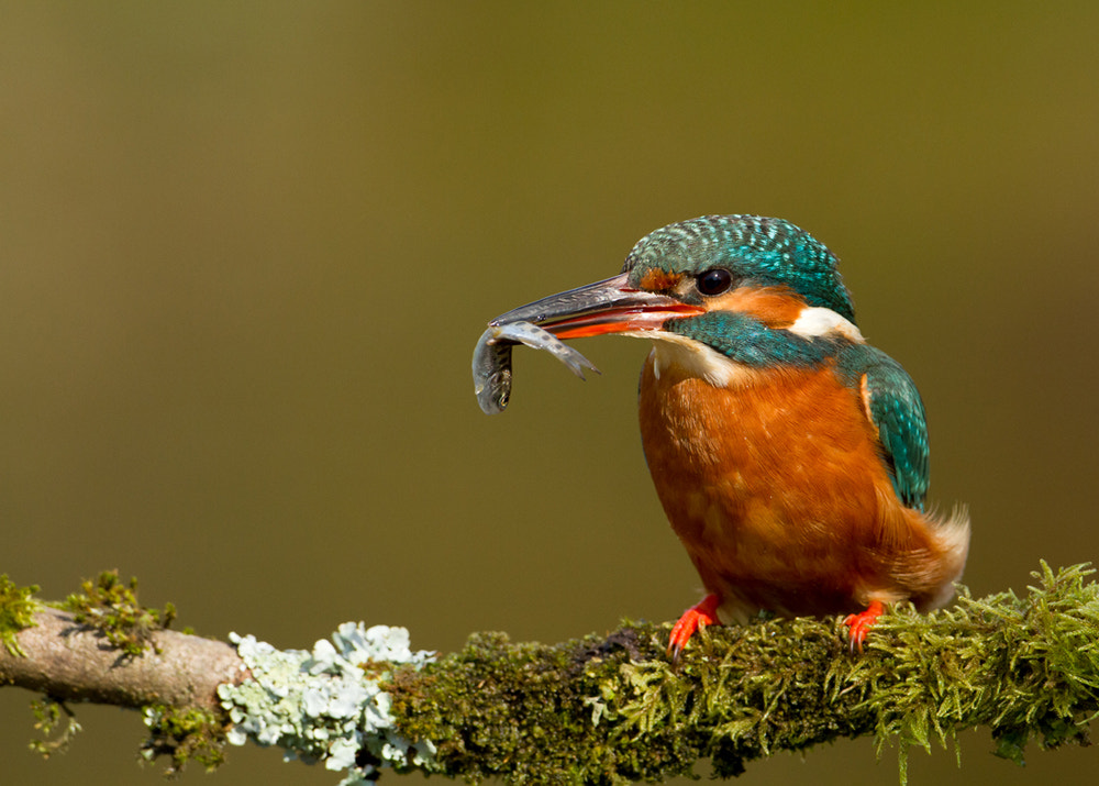 Photograph Kingfisher with a fish by Dalia Kvedaraite on 500px