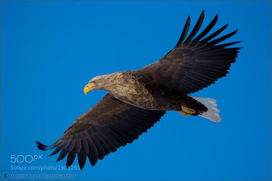 Photograph Eagle Eye by Martin Bailey on 500px