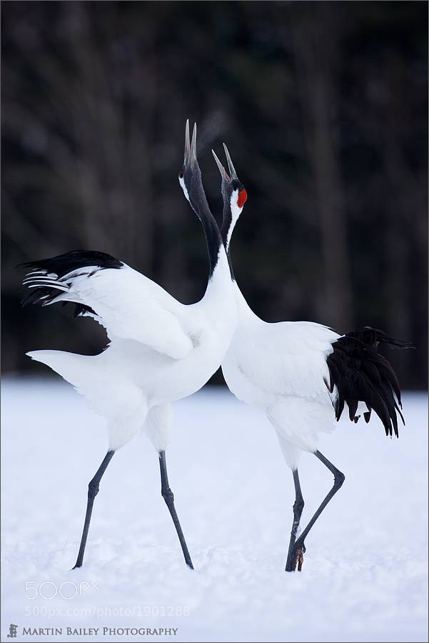 Photograph Honking Dance by Martin Bailey on 500px