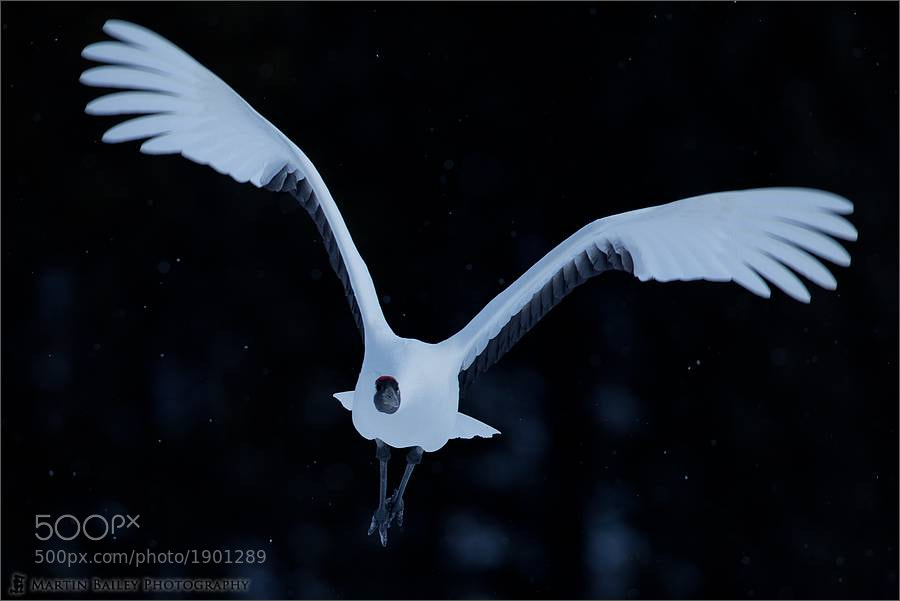 Photograph Soft Arched Wings by Martin Bailey on 500px