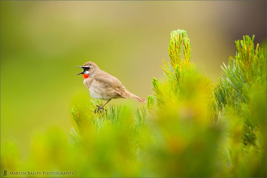 Photograph Siberian Rubythroat's Opera by Martin Bailey on 500px