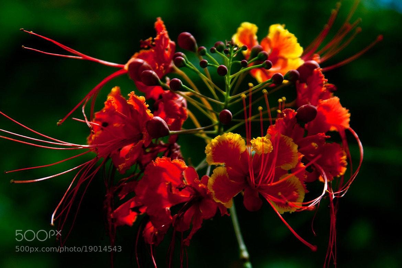 Photograph Oha'i Ali'i blossom by Cindy Aona on 500px