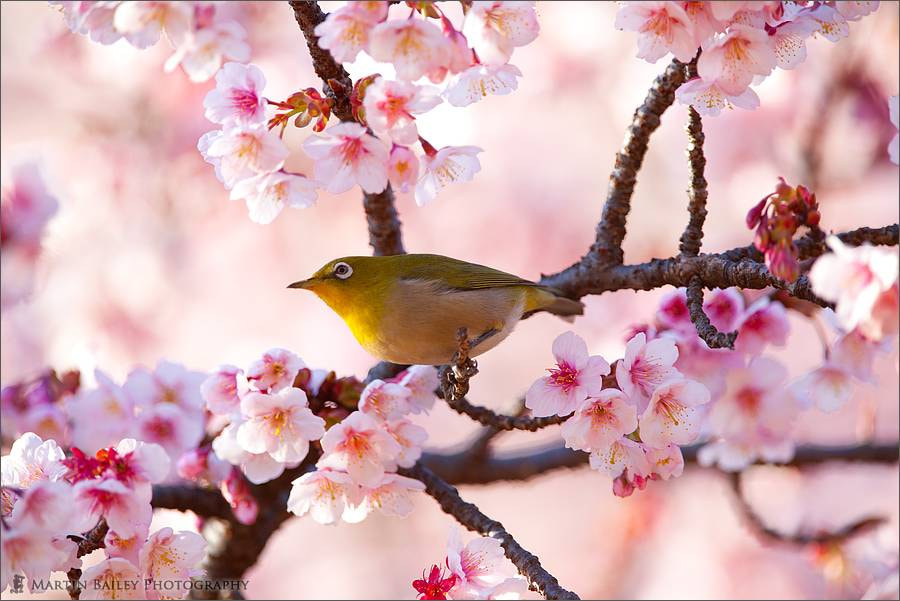 Photograph Kanzakura White Eye by Martin Bailey on 500px