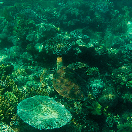 turtle at great barrier, Nikon COOLPIX S33