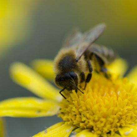 Bee on a Paris daisy