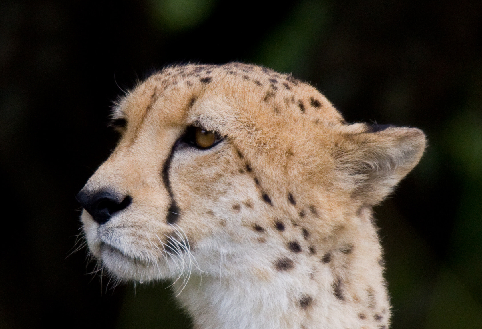 Photograph Cheetah by robert mcaloney on 500px