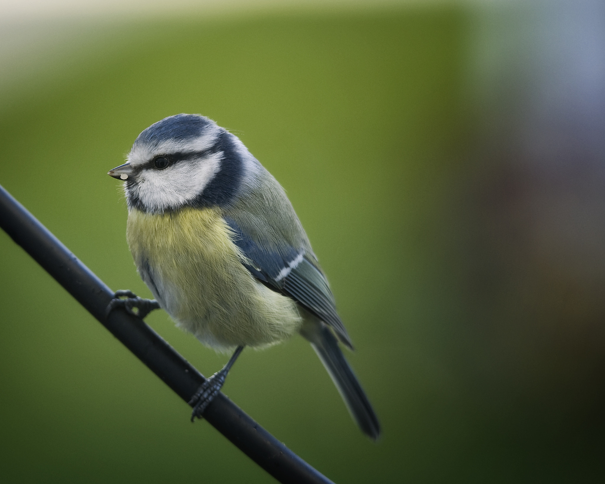 Photograph Blue Tit by Linus Englund on 500px