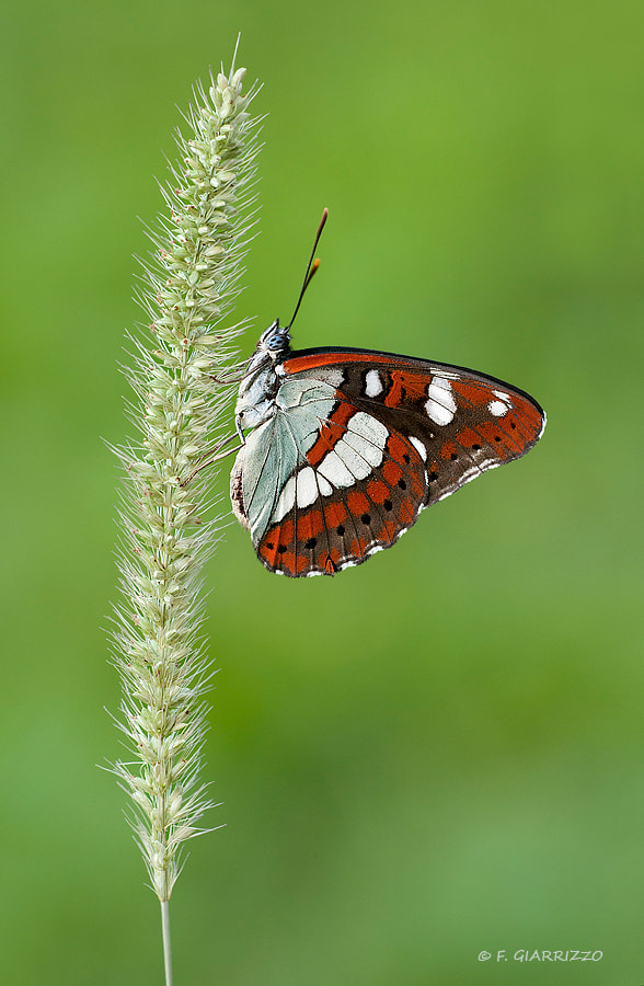 Photograph Southern White Admiral by Fabio Giarrizzo on 500px