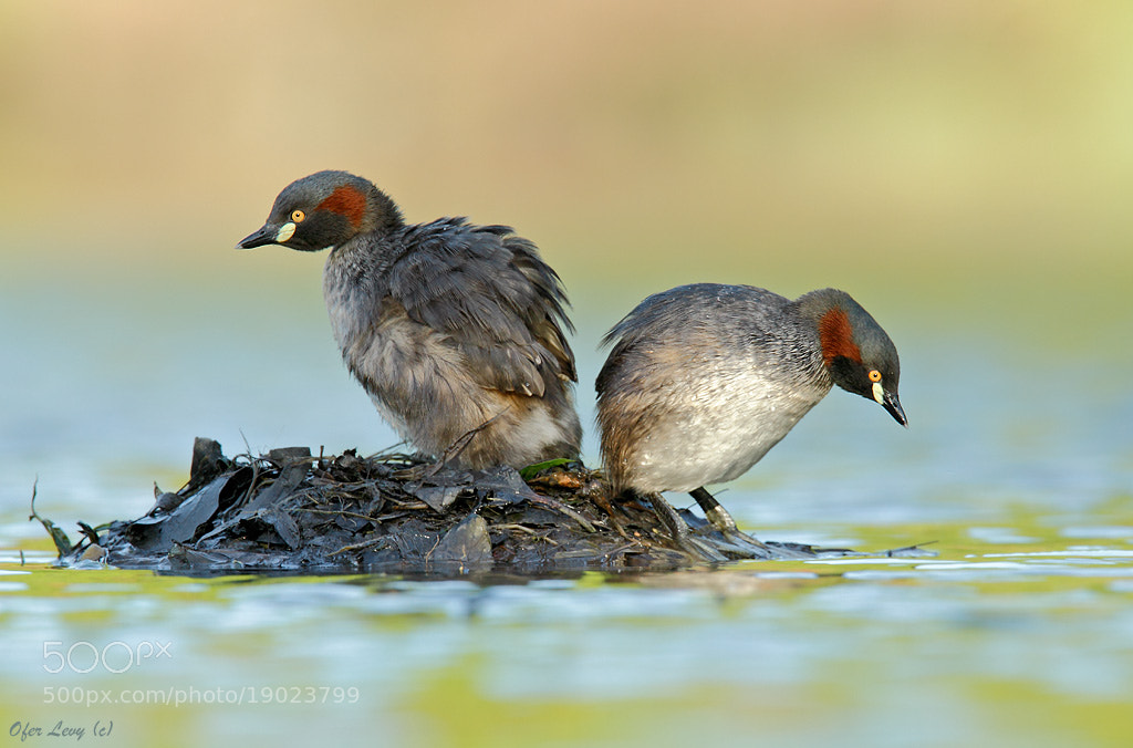 Photograph Australasian Grebe - pair on the nest by Ofer Levy on 500px
