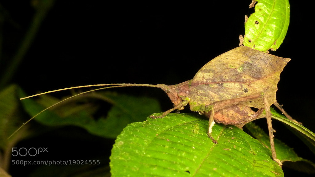 Photograph Leaf mimicking katydid by Andreas Kay on 500px