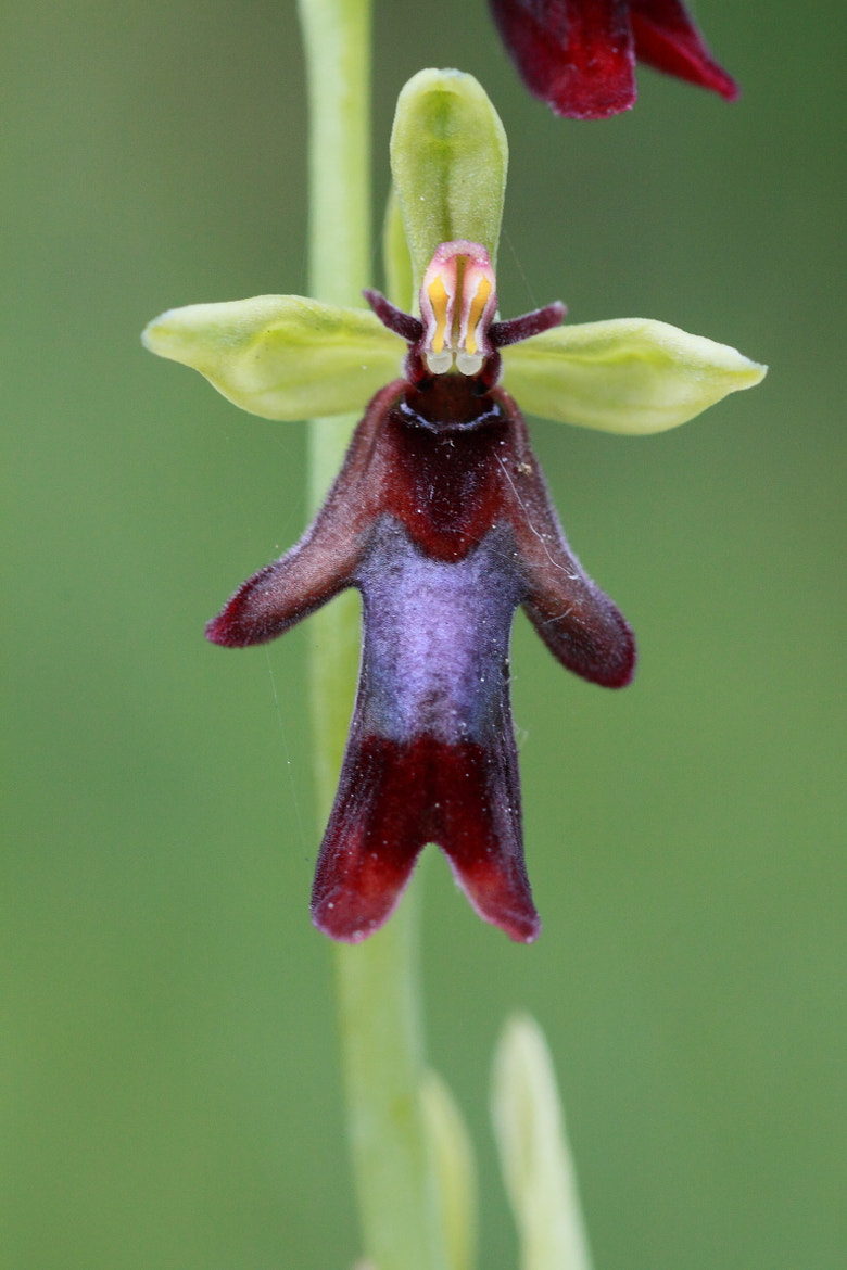 Photograph Ophrys insectifera by Cheype Sébastien on 500px