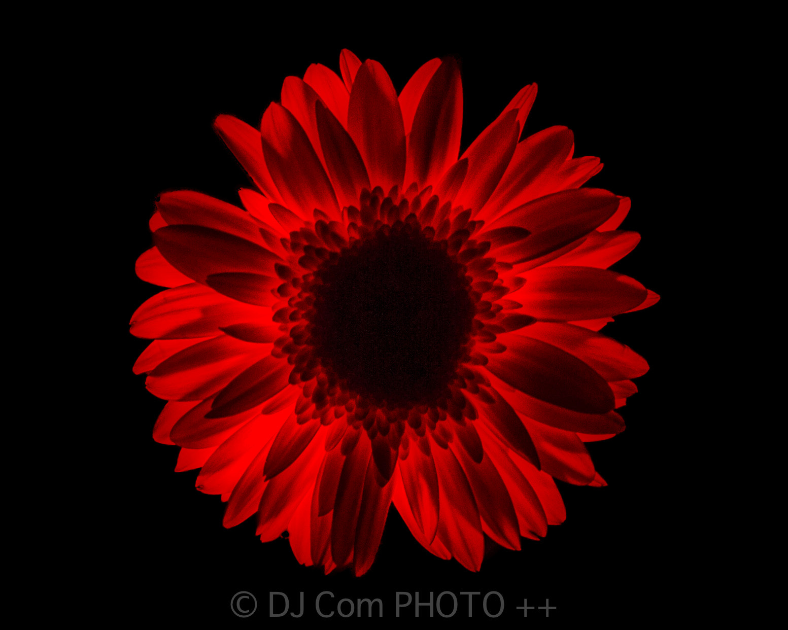 Photograph Incandescent flower by Dana Comanean on 500px
