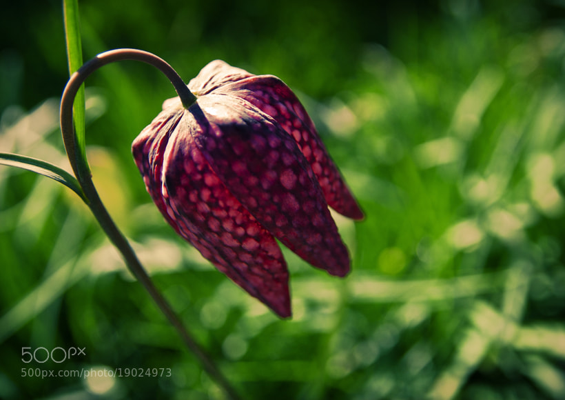 Photograph Snake's Head Fritillary by Brian Dwyer on 500px