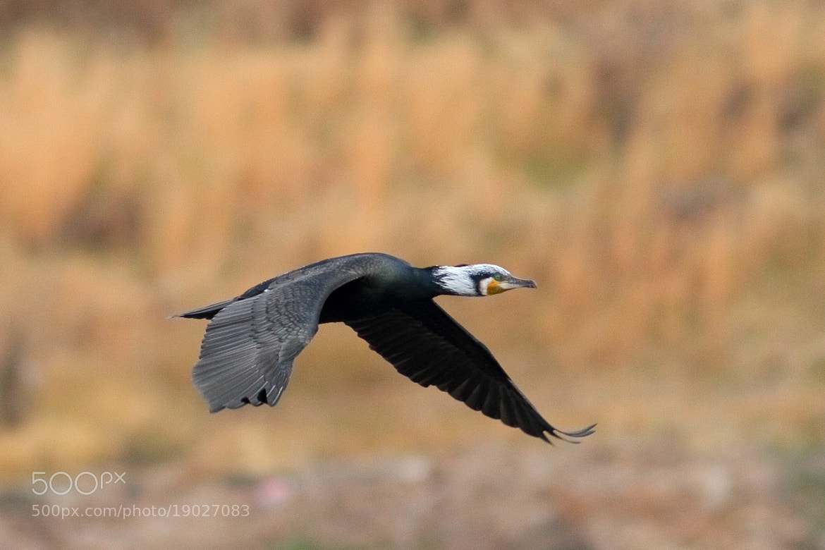 Photograph Great Cormorant by Yellow Monkey on 500px