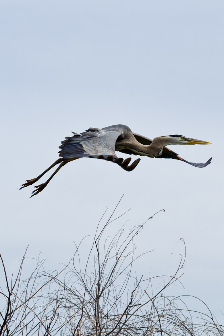 Photograph Flying Heron by Eugen Winschel on 500px