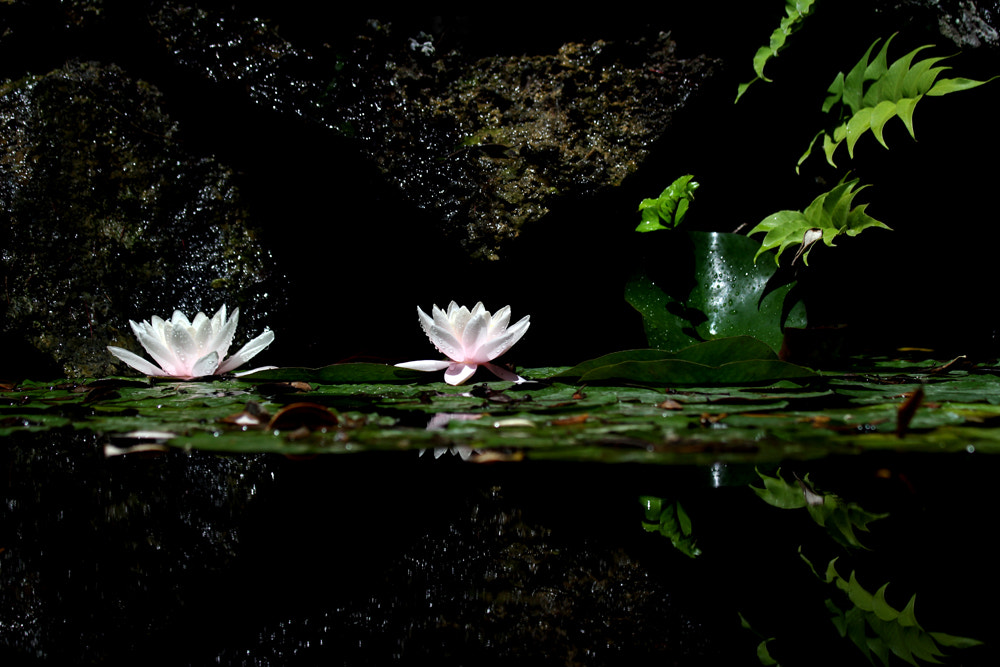 Photograph Lotus Flower by Gabriela Jácome Correia on 500px