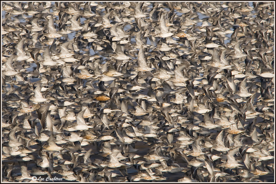 Photograph flock of red knot by Lee Crabtree on 500px