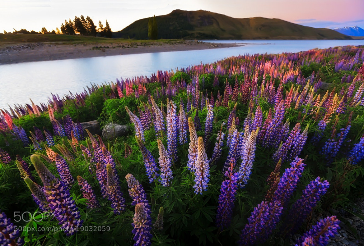 Photograph Lupin Delights by Cheah  Nz on 500px