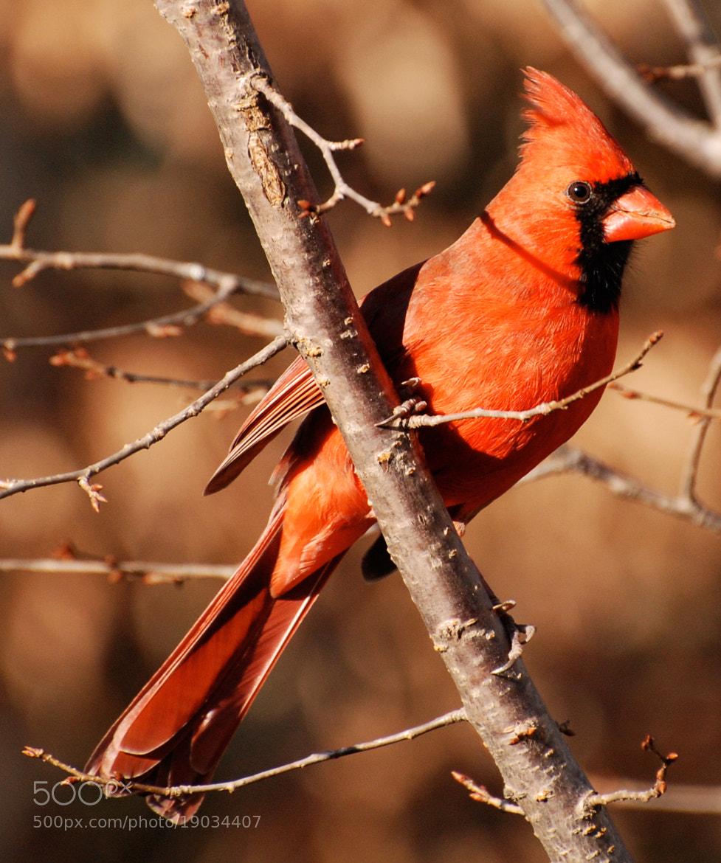 Photograph Cardinal by Mark Jones on 500px