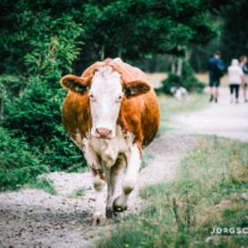 Kuh / Cow Seebachtal Mallnitz, Österreich
